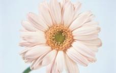 花卉 白扶郎花图片