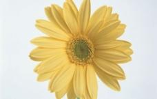 花卉 黄扶郎花图片