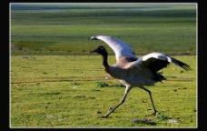 黑颈鹤图片