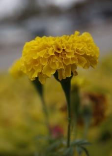 黄色万寿菊图片