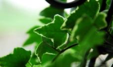 垂藤绿叶图片