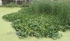 水葫芦   浮萍图片
