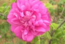 徐州的朝露食用玫瑰图片