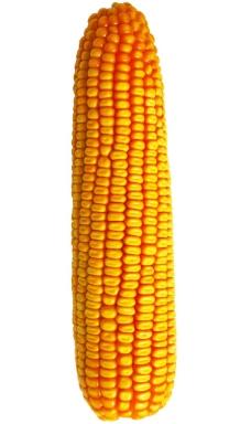 偃单8号玉米棒图片